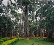 Big Bangalore Big Banyan Tree